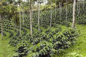 SAF – Sistemas Agroflorestais