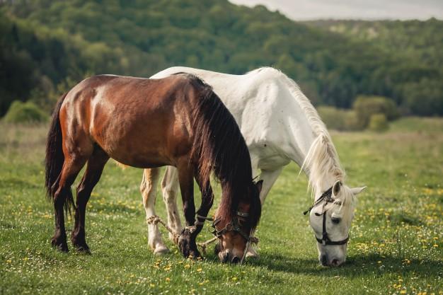 Vacinas para equinos: quais as principais e o calendário vacinal
